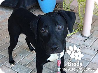 Black Mouth Cur Mix Puppy for adoption in Sarasota, Florida - Brody