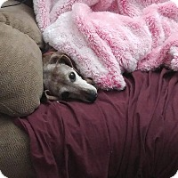 Adopt A Pet :: Gingerbread - Charlotte, NC