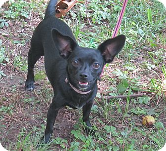 Chihuahua Mix Dog for adoption in Washington, D.C. - Seraphina
