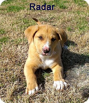 Catahoula Mix Shepherd Dog Breed http://www.adoptapet.com/pet/8606858-quakertown-pennsylvania-catahoula-leopard-dog-mix