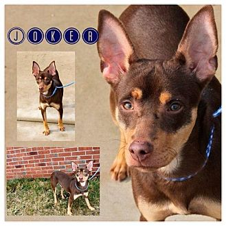 Miniature Pinscher/Manchester Terrier Mix Dog for adoption in Garden City, Michigan - Joker