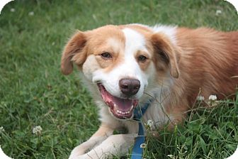 Border Collie/Australian Shepherd Mix Dog for adoption in Stilwell, Oklahoma - Jasper