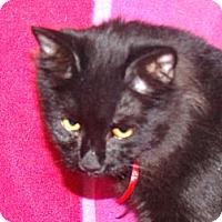 Adopt A Pet :: Night- gorgeous BIG kitten - Scottsdale, AZ
