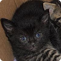 Adopt A Pet :: Flash - Dallas, TX