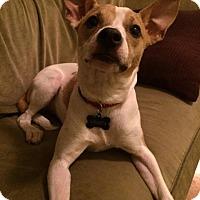Adopt A Pet :: Vivien - Bardonia, NY