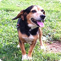 Beagle Mix Dog for adoption in Hopkinsville, Kentucky - Walter