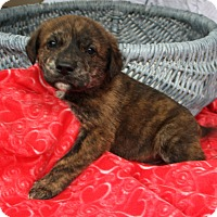 Adopt A Pet :: *Patrick - PENDING - Westport, CT