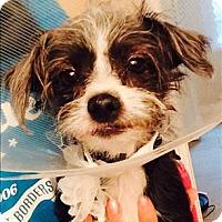 Adopt A Pet :: Blossom - Encino, CA