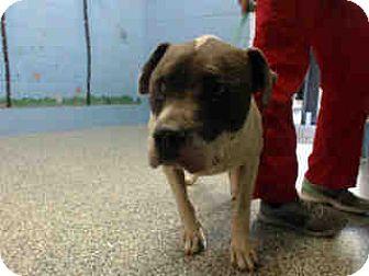 Pit Bull Terrier Mix Dog for adoption in San Bernardino, California - URGENT on 7/29 SAN BERNARDINO