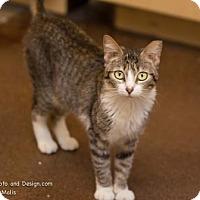 Adopt A Pet :: Bitsy (FELV*) - Scottsdale, AZ