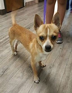 Chihuahua Mix Dog for adoption in Phoenix, Arizona - Damian
