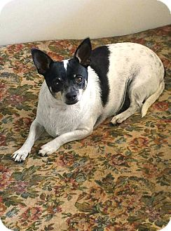 Rat Terrier Mix Dog for adoption in Savannah, Georgia - Shorty