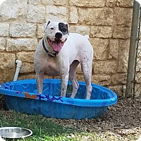 Boxer/Terrier (Unknown Type, Medium) Mix Dog for adoption in Richland Hills, Texas - Daisy