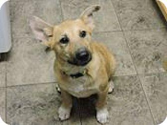 Corgi/Terrier (Unknown Type, Medium) Mix Puppy for adoption in Cottonport, Louisiana - Precious