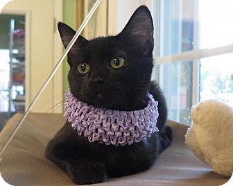 American Shorthair Kitten for adoption in High Point, North Carolina - Georgia