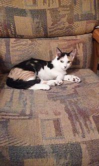 Domestic Shorthair Kitten for adoption in Montello, Wisconsin - Blossom