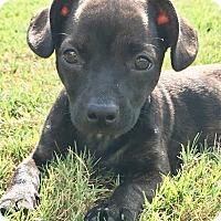 Adopt A Pet :: Honor - Courtland, AL
