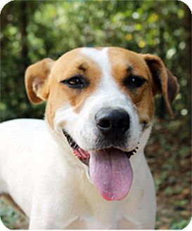 Jack Russell Terrier Mix Dog for adoption in The Woodlands, Texas - Lily