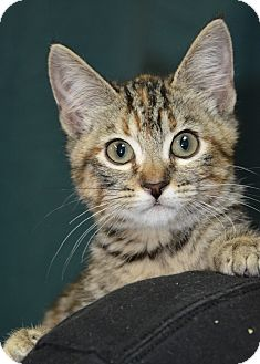 Domestic Shorthair Kitten for adoption in Ogden, Utah - Doll Face
