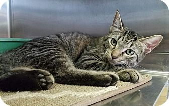 Domestic Shorthair Kitten for adoption in Elyria, Ohio - Kohl