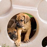 Adopt A Pet :: Diamond - Virginia Beach, VA