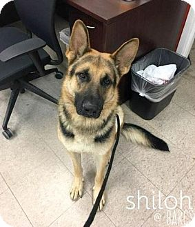 German Shepherd Dog Dog for adoption in Mt. Airy, Maryland - Shiloh