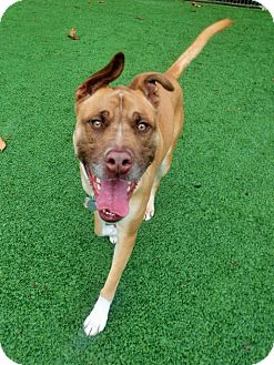 Terrier (Unknown Type, Medium)/Shepherd (Unknown Type) Mix Dog for adoption in Dublin, California - Copper