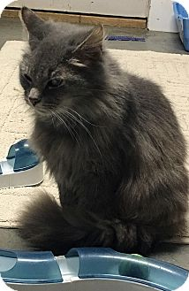 Domestic Mediumhair Cat for adoption in Loogootee, Indiana - Bella