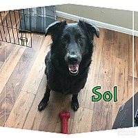 Australian Shepherd Dog for adoption in Rowlett, Texas - Sol