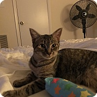Domestic Shorthair Kitten for adoption in Virginia Beach, Virginia - Froggie