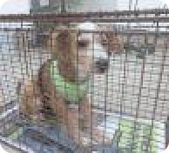 Cairn Terrier Mix Puppy for adoption in Austin, Texas - Saint Michael