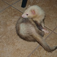 Ferret for adoption in Acworth, Georgia - Lots of Ferrets