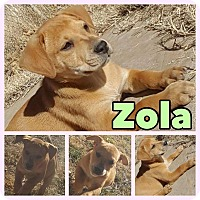 Adopt A Pet :: Zola - New Milford, CT