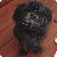 Adopt A Pet :: Shadow - staten Island, NY