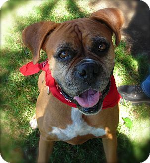 Boxer Dog for adoption in El Cajon, California - Lola
