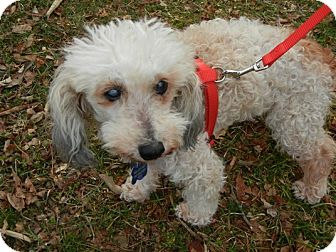 Poodle (Miniature) Mix Dog for adoption in Seymour, Connecticut - Gumdrop