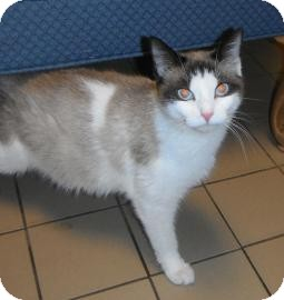 Siamese Cat for adoption in Jackson, Michigan - Kimmy
