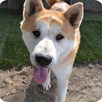 Adopt A Pet :: Akita - Sun Valley, CA
