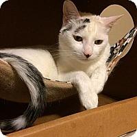Adopt A Pet :: Domino - Burbank, CA