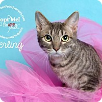 Adopt A Pet :: Sterling - Pearland, TX