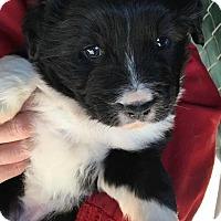 Adopt A Pet :: Libby's girl Pups - Quinlan, TX
