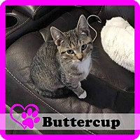 Adopt A Pet :: Buttercup - Medford, NJ