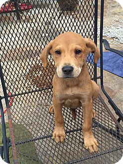 Shepherd (Unknown Type) Mix Puppy for adoption in Trenton, New Jersey - Jenner