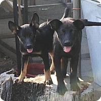 Adopt A Pet :: Puppies - Cokato, MN