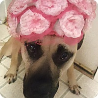Mastiff/Black Mouth Cur Mix Dog for adoption in Garland, Texas - Marley