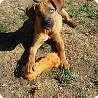 Adopt A Pet :: Issac - New Oxford, PA