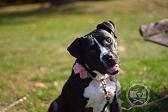 Labrador Retriever/Pit Bull Terrier Mix Dog for adoption in New York, New York - Babette