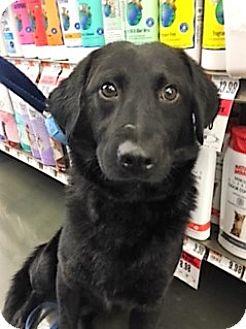 Labrador Retriever Mix Puppy for adoption in Schaumburg, Illinois - Phoenix-adoption pending