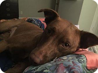 Retriever (Unknown Type)/Vizsla Mix Dog for adoption in McKinney, Texas - Maddie