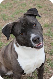 Pit Bull Terrier Mix Dog for adoption in Wichita Falls, Texas - Scarlet